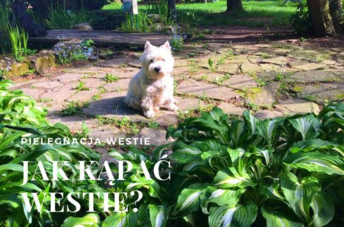 west highland white terrier-kapiel