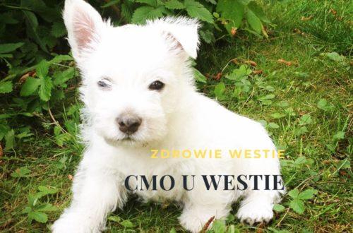 CMO osteopatia czaszkowo-żuchwowa u westie